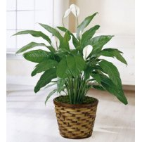 The FTD® Spathiphyllum, USA
