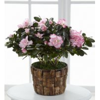 The FTD® Pink Azalea, USA