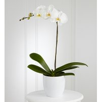 The FTD® White Orchid Planter, USA