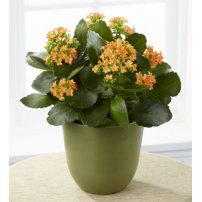 The FTD® Kalanchoe, USA