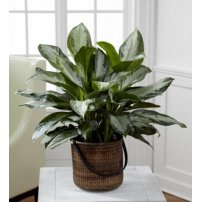 The FTD® Chinese Evergreen, USA