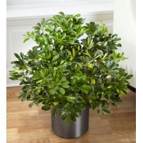 The FTD® Schefflera Arboricola, USA