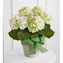 The FTD® White Hydrangea Planter, USA