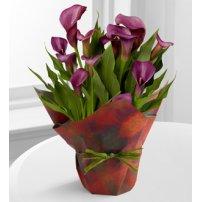 Autumn Elegance Calla Lily Plant, USA