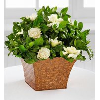 Serene Settings® Gardenia Plant, USA