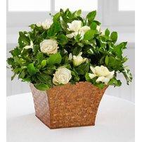 Serene Settings® Gardenia Plant, USA