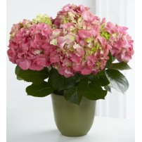 The FTD® Pink Hydrangea Planter, USA