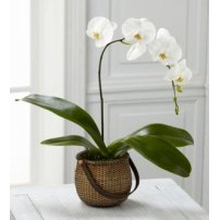 The FTD® White Phalaenopsis Orchid, USA