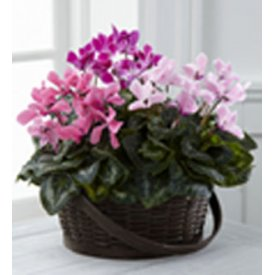 The FTD® Mixed Cyclamen Planter, USA